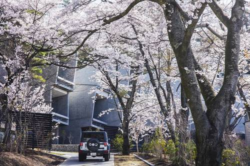 The road leading up to the hotel covered in cherry blossoms