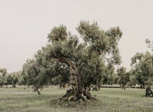 One of the ancient olive trees on the property